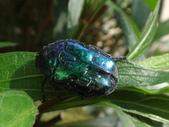 藍艷白點花金龜:DSC08625藍艷白點花金龜.JPG