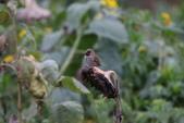 復旦-新天母公園的鳥兒:N74A3625斑文鳥.JPG