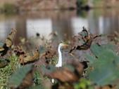 復旦大埤塘的鳥兒:074A7293黃頭鷺.JPG