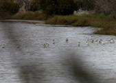 鰲鼓的候鳥與水鳥:074A7950反嘴鴴.jpg