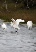 鰲鼓的候鳥與水鳥:074A7949黑琵.jpg