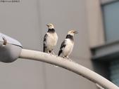 南港鳥兒:074A2396黑領椋鳥夫妻.jpg