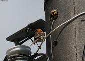 台南關子嶺的山麻雀親鳥育雛:074A3423換另一隻幼鳥索食.jpg