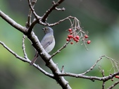 大雪山賞鳥和松鼠及猴王:074A7352黃腹琉璃(雌).jpg