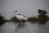 清晨鰲鼓濕地的鳥類:074A5831.JPG