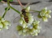 細扁食蚜蠅取食火炭母草花蜜:DSC09148細扁食蚜蠅,雌,兩眼分離.jpg