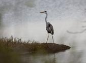 鰲鼓的候鳥與水鳥:074A8009蒼鷺.JPG