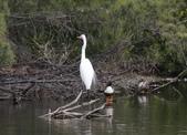 鰲鼓的候鳥與水鳥:074A7873大白鷺.jpg