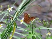 秋天雙溪的昆蟲:074A4786黑擬蛺蝶.jpg