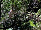 冬至大雪山活潑的鳥兒與松鼠:074A6945.JPG