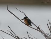 鰲鼓的候鳥與水鳥:074A8015翠鳥.jpg