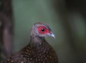 大雪山賞鳥和松鼠及猴王:074A7319藍腹鷴母鳥.JPG