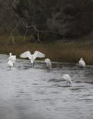 鰲鼓的候鳥與水鳥:074A7978a.jpg
