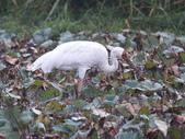 白鶴公鳥在金山捕蝦吃兼練武:金山 007白鶴型男.jpg