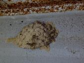 老友湖口別墅的生物:DSC07294泥胡蜂土巢.JPG