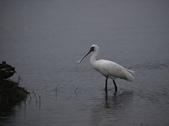 清晨鰲鼓濕地的鳥類:074A5868.JPG