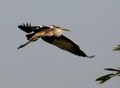 復旦社區冬天的鳥兒:074A7735蒼鷺.jpg