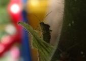 台灣猬盲椿成蟲與終齡若蟲:DSC08077a.jpg