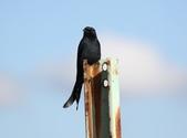復旦大埤塘的鳥兒:074A7301大捲尾.JPG