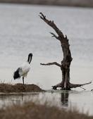 鰲鼓的候鳥與水鳥:074A8012a.jpg