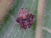 艾瑟毛圓蛛(雄與雌)-構樹:DSC08353.JPG