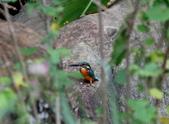 雙溪秋天的鳥類:074A5656.JPG