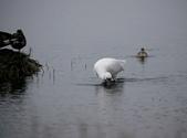 清晨鰲鼓濕地的鳥類:074A5877.JPG