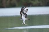 水鳥捕魚千裡挑一精彩鏡頭:N74A0941.JPG