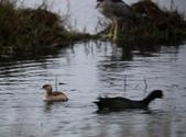 清晨鰲鼓濕地的鳥類:074A5881.JPG