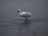 清晨鰲鼓濕地的鳥類:074A5887.JPG
