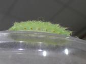 二隻黑點扁刺蛾早齡和終齡幼蟲~綠前蛹落跑:DSC06865黑點扁刺蛾終齡幼蟲腳足.JPG