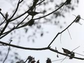 大雪山賞鳥和松鼠及猴王:074A7311白耳畫眉二隻.JPG