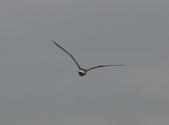 鰲鼓的候鳥與水鳥:074A7895.JPG