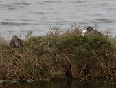鰲鼓的候鳥與水鳥:074A7914a.jpg
