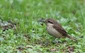復旦-新天母公園的鳥兒:074A8147.jpg