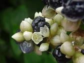細扁食蚜蠅取食火炭母草花蜜:DSC09138二朵花.JPG