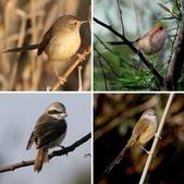 褐頭鷦鶯、粉紅鸚嘴、紅尾伯勞與灰頭鷦鶯:相簿封面
