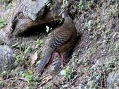 大雪山林道的藍腹鷴:074A6753母鳥爬山.jpg