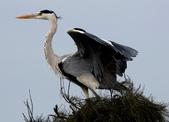鰲鼓的候鳥與水鳥:074A7924蒼鷺展翅.jpg