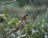 雙溪秋天的鳥類:074A5484a.jpg
