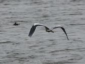 鰲鼓的候鳥與水鳥:074A7916蒼鷺.jpg