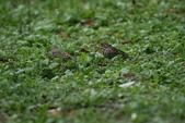 復旦-新天母公園的鳥兒:N74A3526.JPG