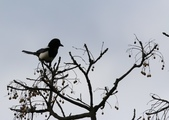 復旦大埤塘周遭的鳥兒:N74A2947.JPG