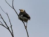復旦大埤塘周遭的鳥兒:N74A2970a.jpg