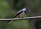 新天母公園的鵲鴝雄鳥:074A5783.JPG