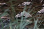 雙溪秋天的鳥類:074A5555.JPG