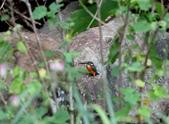 雙溪秋天的鳥類:074A5655.JPG