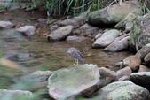 雙溪秋天的鳥類:074A5638.JPG