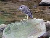 雙溪秋天的鳥類:074A5638夜鷺幼鳥.jpg