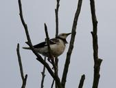 復旦大埤塘周遭的鳥兒:N74A2987.JPG